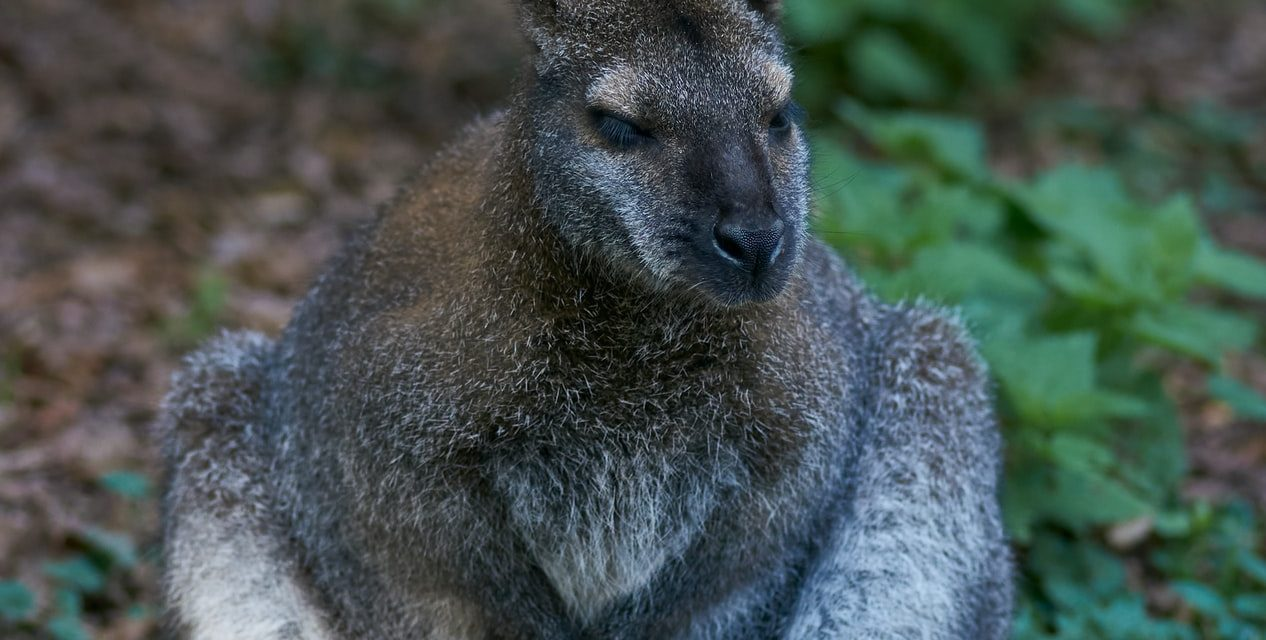Go on a Wallaby Hunt!